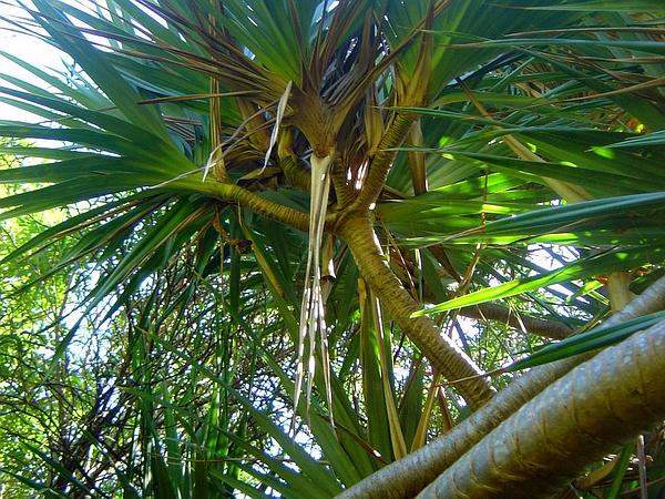 Common Screwpine (Pandanus Utilis) http://www.sagebud.com/common-screwpine-pandanus-utilis