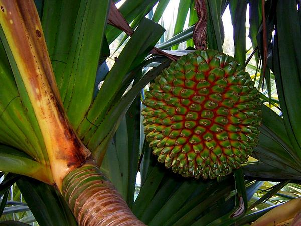 Common Screwpine (Pandanus Utilis) http://www.sagebud.com/common-screwpine-pandanus-utilis