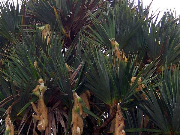 Common Screwpine (Pandanus Utilis) http://www.sagebud.com/common-screwpine-pandanus-utilis/