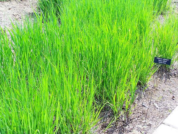 Switchgrass (Panicum Virgatum) http://www.sagebud.com/switchgrass-panicum-virgatum/