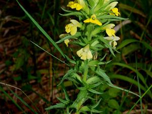 Yellow Glandweed