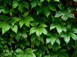 PAVI5/Parthenocissus-vitacea-foliage_300.jpg