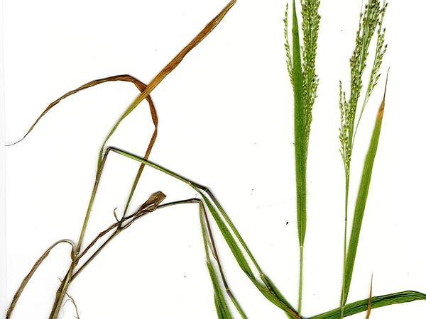 Kakonakona (Panicum Xerophilum) http://www.sagebud.com/kakonakona-panicum-xerophilum