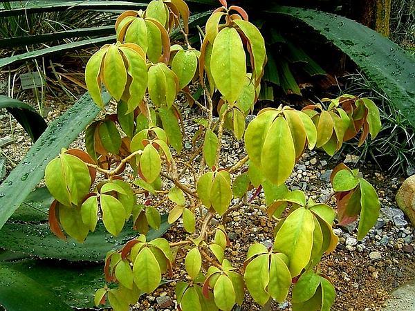 Barbados Shrub (Pereskia Aculeata) http://www.sagebud.com/barbados-shrub-pereskia-aculeata