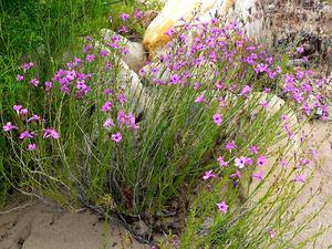 Gilia Beardtongue
