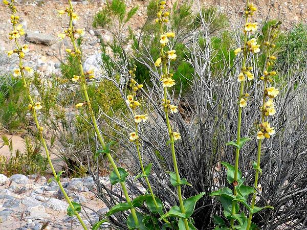 Pinto Beardtongue (Penstemon Bicolor) http://www.sagebud.com/pinto-beardtongue-penstemon-bicolor