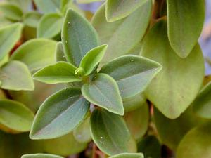 PEBL/Starr_010704-0007_Peperomia_blanda_300.jpg
