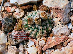 Brady's Pincushion Cactus