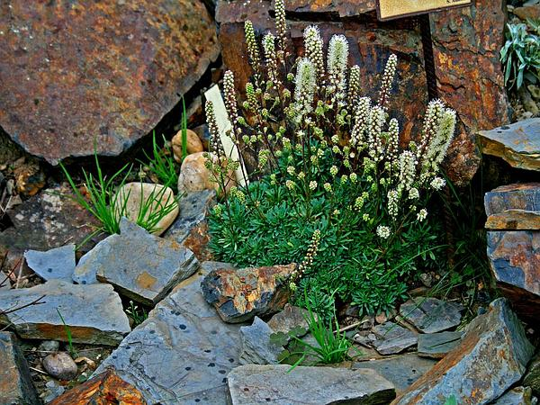 Mat Rockspirea (Petrophytum Caespitosum) http://www.sagebud.com/mat-rockspirea-petrophytum-caespitosum