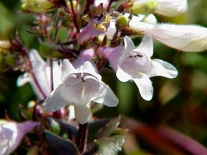 PEDI/Penstemon_digitalis0_300.jpg
