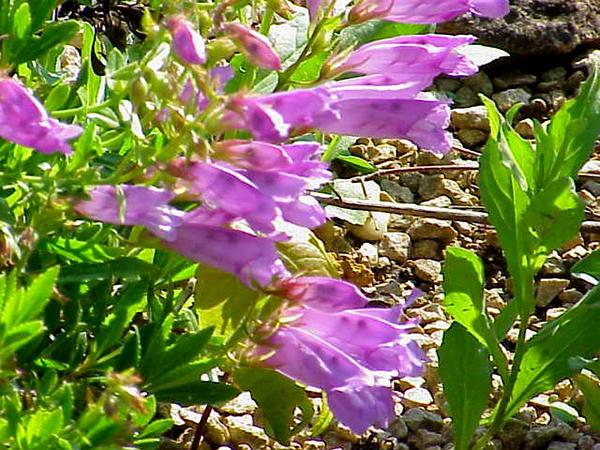 Bush Penstemon (Penstemon Fruticosus) http://www.sagebud.com/bush-penstemon-penstemon-fruticosus
