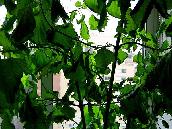 Beefsteakplant (Perilla Frutescens) http://www.sagebud.com/beefsteakplant-perilla-frutescens