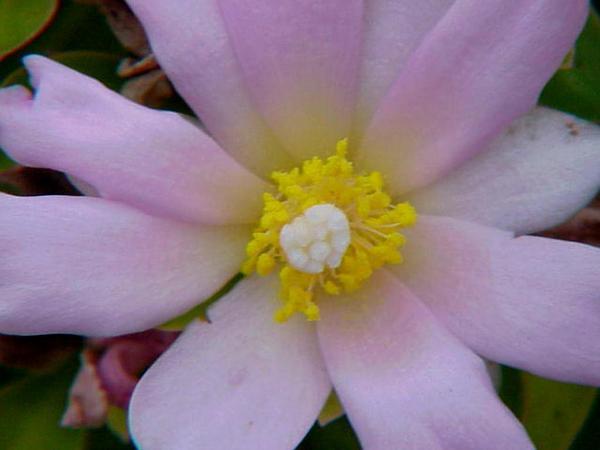 Rose Cactus (Pereskia Grandifolia) http://www.sagebud.com/rose-cactus-pereskia-grandifolia/