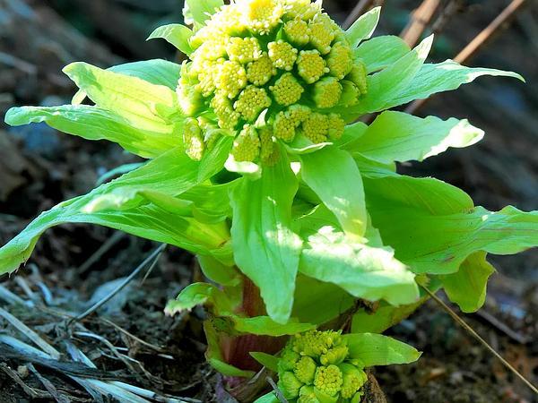 Japanese Sweet Coltsfoot (Petasites Japonicus) http://www.sagebud.com/japanese-sweet-coltsfoot-petasites-japonicus/