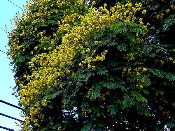Peltophorum (Peltophorum) http://www.sagebud.com/peltophorum-peltophorum/