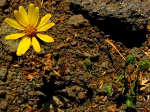 Lyon's Pygmydaisy (Pentachaeta Lyonii) http://www.sagebud.com/lyons-pygmydaisy-pentachaeta-lyonii