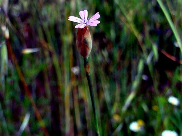 Proliferous Pink (Petrorhagia Nanteuilii) http://www.sagebud.com/proliferous-pink-petrorhagia-nanteuilii