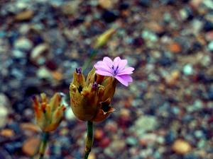Proliferous Pink