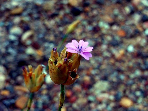 Proliferous Pink (Petrorhagia Nanteuilii) http://www.sagebud.com/proliferous-pink-petrorhagia-nanteuilii/