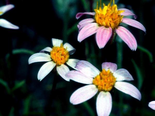 Pygmydaisy (Pentachaeta) http://www.sagebud.com/pygmydaisy-pentachaeta