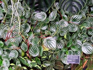 PEPER/Peperomia_argyreia_-_JBM_300.jpg