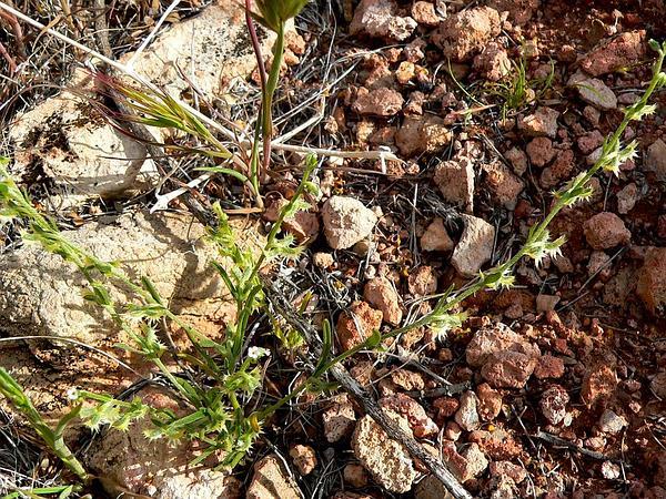 Broadfruit Combseed (Pectocarya Platycarpa) http://www.sagebud.com/broadfruit-combseed-pectocarya-platycarpa