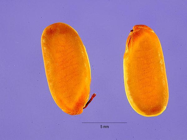 Peltophorum (Peltophorum Pterocarpum) http://www.sagebud.com/peltophorum-peltophorum-pterocarpum/