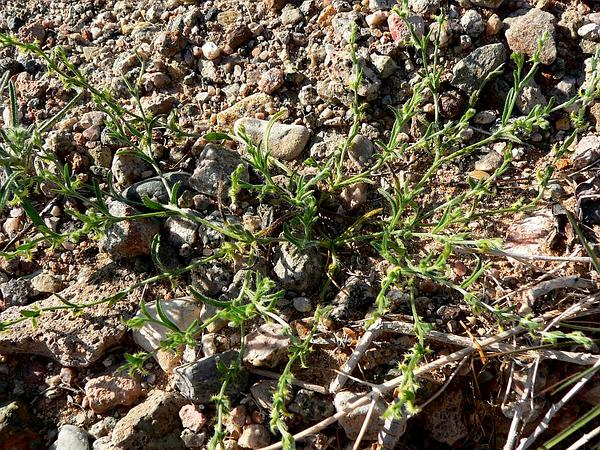 Curvenut Combseed (Pectocarya Recurvata) http://www.sagebud.com/curvenut-combseed-pectocarya-recurvata/