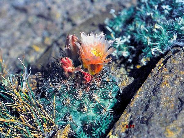 Mountain Ball Cactus (Pediocactus Simpsonii) http://www.sagebud.com/mountain-ball-cactus-pediocactus-simpsonii