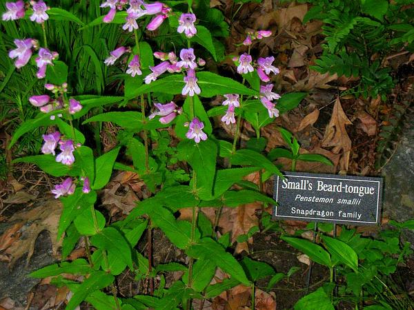 Small's Beardtongue (Penstemon Smallii)