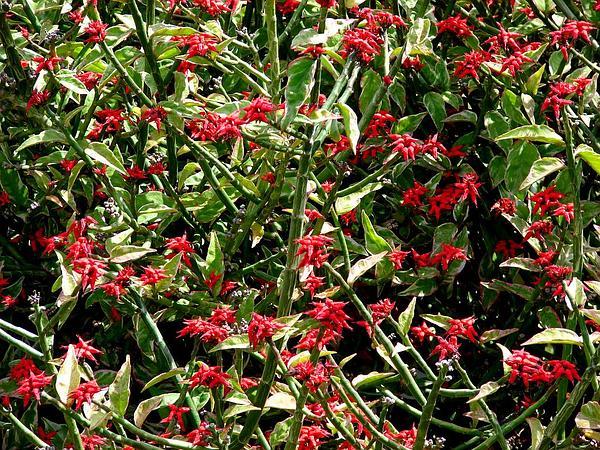 Redbird Flower (Pedilanthus Tithymaloides) http://www.sagebud.com/redbird-flower-pedilanthus-tithymaloides