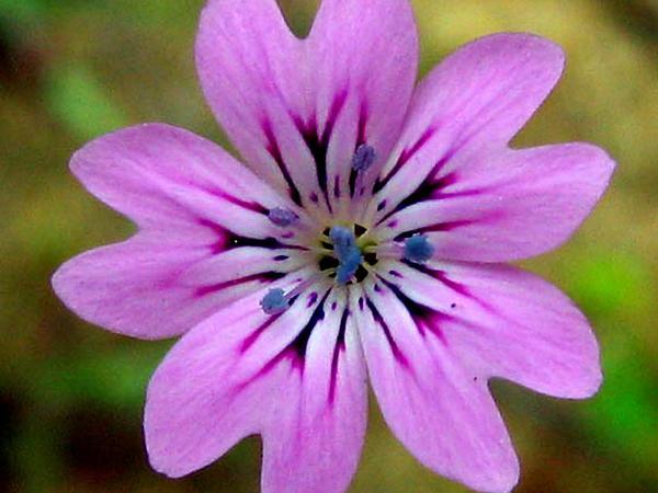 Pink (Petrorhagia) http://www.sagebud.com/pink-petrorhagia
