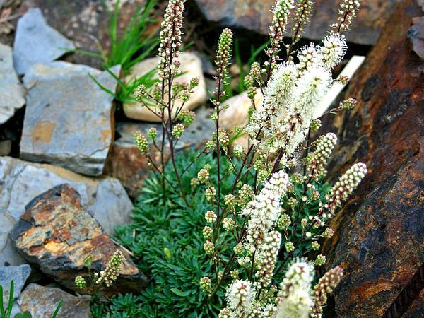 Rockspirea (Petrophytum) http://www.sagebud.com/rockspirea-petrophytum