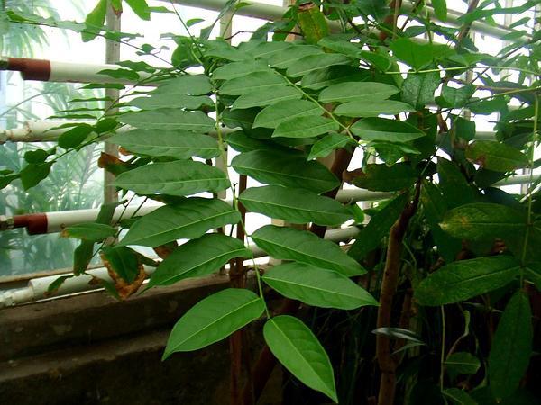 Tahitian Gooseberry Tree (Phyllanthus Acidus) http://www.sagebud.com/tahitian-gooseberry-tree-phyllanthus-acidus