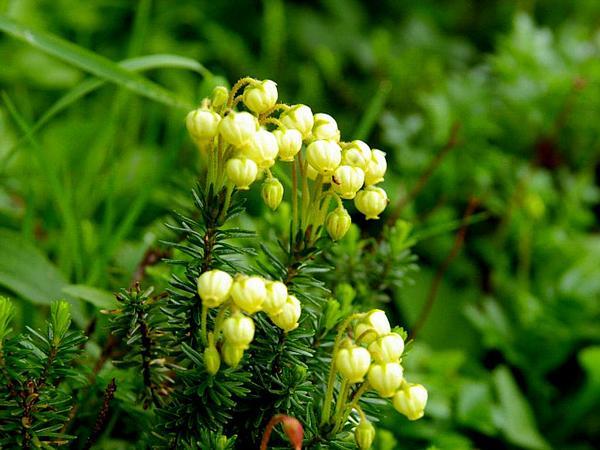 Aleutian Mountainheath (Phyllodoce Aleutica) http://www.sagebud.com/aleutian-mountainheath-phyllodoce-aleutica/
