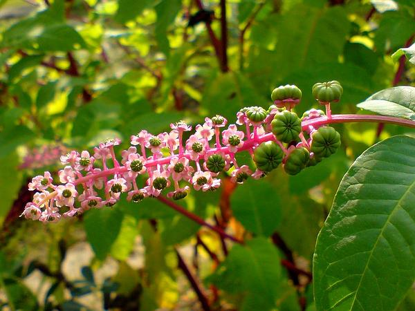 American Pokeweed (Phytolacca Americana) http://www.sagebud.com/american-pokeweed-phytolacca-americana/