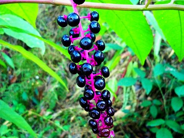 American Pokeweed (Phytolacca Americana) http://www.sagebud.com/american-pokeweed-phytolacca-americana