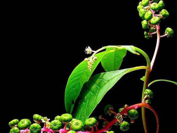 American Pokeweed (Phytolacca Americana) http://www.sagebud.com/american-pokeweed-phytolacca-americana/