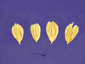 Bulbous Canarygrass