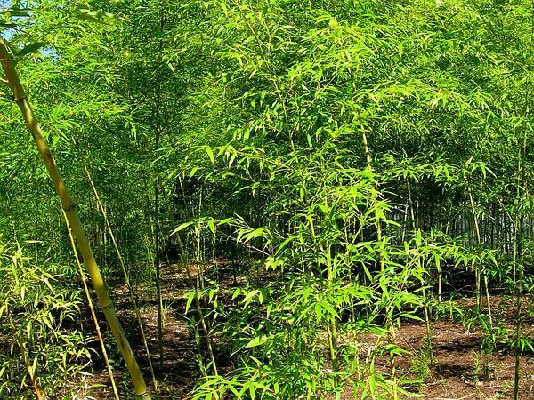 Golden Bamboo (Phyllostachys Aurea) http://www.sagebud.com/golden-bamboo-phyllostachys-aurea