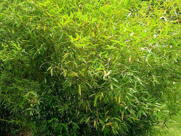 Japanese Timber Bamboo (Phyllostachys Bambusoides) http://www.sagebud.com/japanese-timber-bamboo-phyllostachys-bambusoides