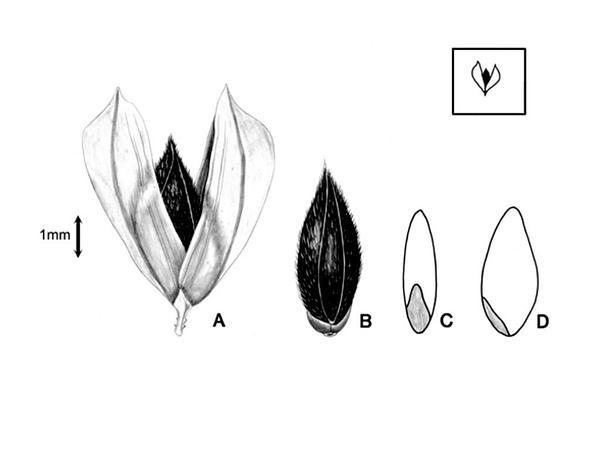 Shortspike Canarygrass (Phalaris Brachystachys) http://www.sagebud.com/shortspike-canarygrass-phalaris-brachystachys