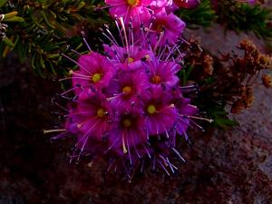 Purple Mountainheath