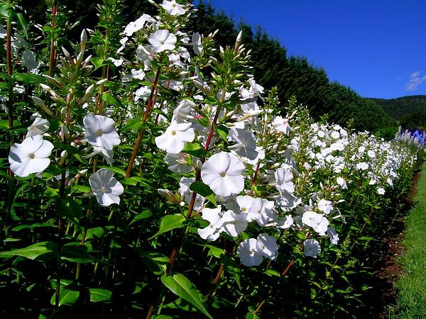 Thickleaf Phlox (Phlox Carolina)