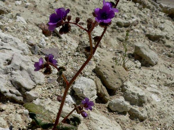 Calthaleaf Phacelia (Phacelia Calthifolia) http://www.sagebud.com/calthaleaf-phacelia-phacelia-calthifolia/