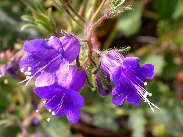 Desertbells (Phacelia Campanularia) http://www.sagebud.com/desertbells-phacelia-campanularia