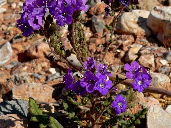 Cleftleaf Wildheliotrope (Phacelia Crenulata) http://www.sagebud.com/cleftleaf-wildheliotrope-phacelia-crenulata
