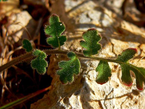 Hiddenflower Phacelia (Phacelia Cryptantha) http://www.sagebud.com/hiddenflower-phacelia-phacelia-cryptantha