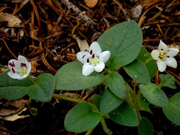Scott Mountain Phacelia (Phacelia Dalesiana) http://www.sagebud.com/scott-mountain-phacelia-phacelia-dalesiana