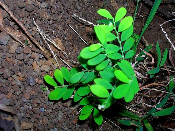 Niruri (Phyllanthus Debilis) http://www.sagebud.com/niruri-phyllanthus-debilis